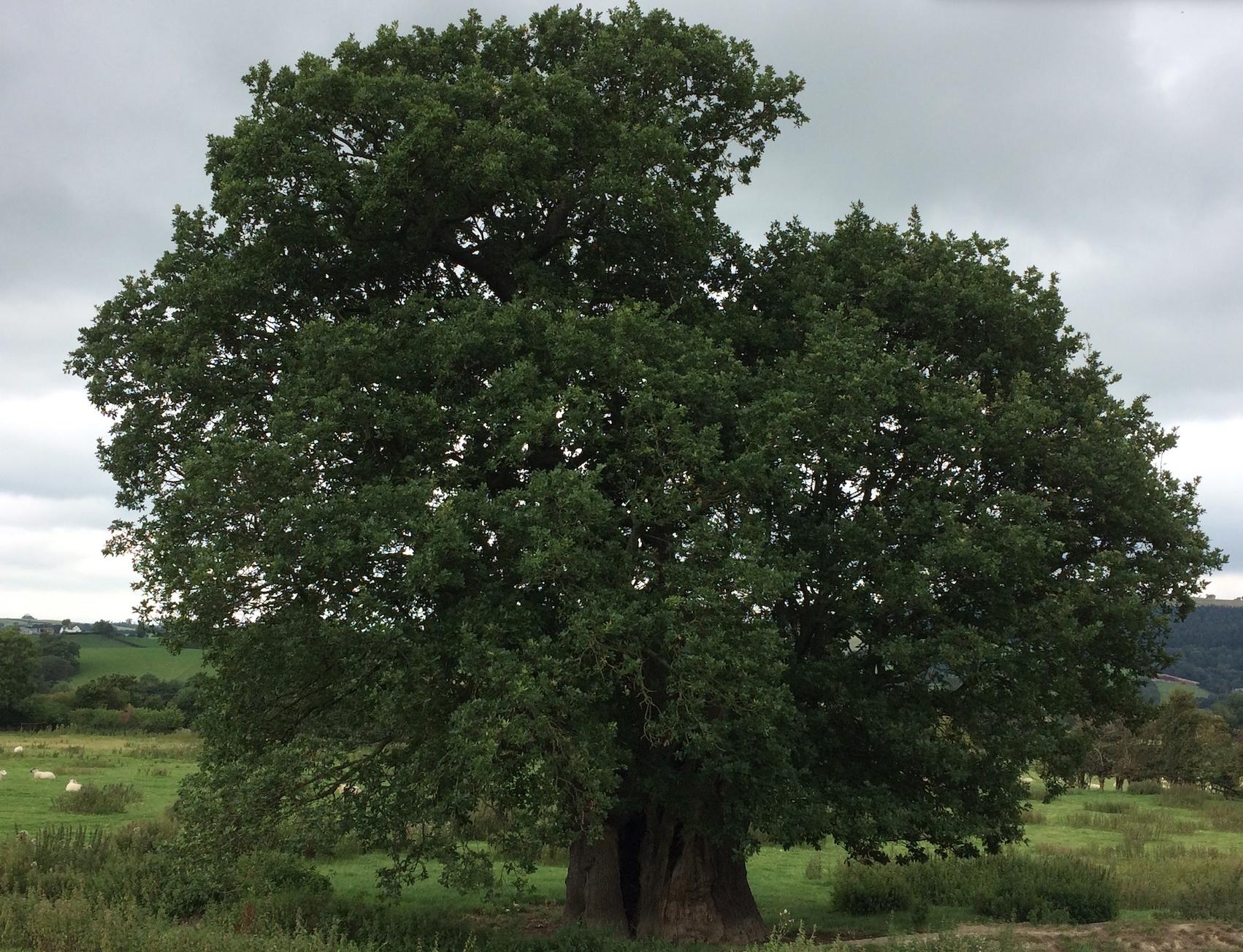 8 bck oak