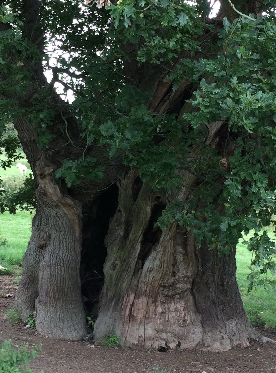 9 bck oak
